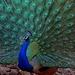 Pavo Real de la India - Photo (c) Yuwaraj Gurjar, algunos derechos reservados (CC BY-NC)