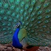 Pavo Real de la India - Photo (c) Yuwaraj Gurjar, algunos derechos reservados (CC BY-NC)