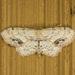Idaea dimidiata - Photo (c) Jim Johnson, algunos derechos reservados (CC BY-NC-ND)