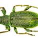 Phyllobius - Photo (c) Udo Schmidt, algunos derechos reservados (CC BY-SA)