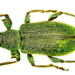 Phyllobius - Photo (c) Udo Schmidt, some rights reserved (CC BY-SA)