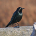 Brewer's Blackbird - Photo (c) Jamie Chavez, some rights reserved (CC BY-NC)