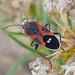 Lygaeus kalmii/reclivatus - Photo (c) Moorpark College Biology Club,  זכויות יוצרים חלקיות (CC BY-NC)