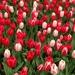 Tulipa gesneriana - Photo (c) kc8srg, μερικά δικαιώματα διατηρούνται (CC BY-NC)