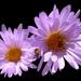 Xylorhiza tortifolia - Photo (c) Doug Olberding, μερικά δικαιώματα διατηρούνται (CC BY-NC)