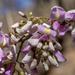 Gliricidia sepium - Photo (c) Rui Da Silva Pinto, μερικά δικαιώματα διατηρούνται (CC BY-NC)