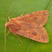 Agrochola circellaris - Photo (c) Tony Morris,  זכויות יוצרים חלקיות (CC BY-NC)