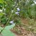 Salvia longispicata - Photo (c) Jesús G. González Gallegos, μερικά δικαιώματα διατηρούνται (CC BY-NC)