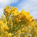 Ericameria paniculata - Photo (c) Stan Shebs,  זכויות יוצרים חלקיות (CC BY-SA)