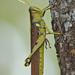 Langostas Pájaro - Photo (c) Jerry Oldenettel, algunos derechos reservados (CC BY-NC-SA)