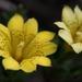 Gentiana scabrida punctulata - Photo (c) Eric, algunos derechos reservados (CC BY-NC)