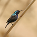 Palestine Sunbird - Photo (c) Marcel Holyoak, some rights reserved (CC BY-NC-ND)