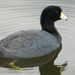 American Coot - Photo (c) Omar Javier López Gómez, some rights reserved (CC BY-NC)
