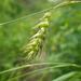 Carex sprengelii - Photo (c) Matt Lavin, algunos derechos reservados (CC BY-SA)