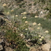 Eriogonum latens - Photo (c) Jim Morefield, algunos derechos reservados (CC BY)