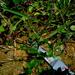 Salomonia cantoniensis - Photo (c) Ahmad Fuad Morad, algunos derechos reservados (CC BY-NC-SA)