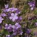 Linanthus californicus - Photo (c) randomtruth, algunos derechos reservados (CC BY-NC-SA)