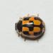 Propylea japonica - Photo (c) Frederick, algunos derechos reservados (CC BY-NC-SA)