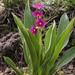 Primula parryi - Photo (c) Andrey Zharkikh, algunos derechos reservados (CC BY)