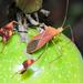 Anisoscelis luridus - Photo (c) Cheryl Harleston López Espino, some rights reserved (CC BY-NC-ND)
