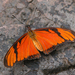Dione juno - Photo (c) Mike Andersen,  זכויות יוצרים חלקיות (CC BY-NC-ND)