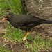 Great Thrush - Photo (c) Thomas Stromberg, some rights reserved (CC BY-NC)