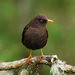 Sooty Thrush - Photo (c) Jerry Oldenettel, some rights reserved (CC BY-NC-SA)