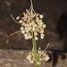 Allium longispathum - Photo (c) José Ignacio Márquez Corro, some rights reserved (CC BY-NC)