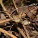 Rilaena triangularis - Photo (c) Pascal Dubois,  זכויות יוצרים חלקיות (CC BY-NC)