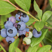 Lowbush Blueberry - Photo (c) cassi saari, some rights reserved (CC BY-NC)