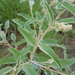 Croton lindheimeri - Photo (c) Dawn Carrie,  זכויות יוצרים חלקיות (CC BY-NC)