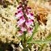 Pedicularis sudetica albolabiata - Photo (c) Logan McLeod, algunos derechos reservados (CC BY-NC-SA)
