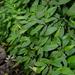 Elatostema platyphyllum - Photo (c) Yaling Lin,  זכויות יוצרים חלקיות (CC BY-NC)