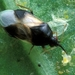 Insidious Flower Bug - Photo Orius_insidiosus_from_USDA_2.jpg, no known copyright restrictions (public domain)