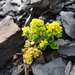 Wright's Golden-Saxifrage - Photo (c) Logan McLeod, some rights reserved (CC BY-NC-SA)