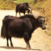 Cattle - Photo (c) Yu Ching Tam, some rights reserved (CC BY-NC-ND)