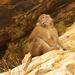 Macaca del Himalaya - Photo (c) Yu Ching Tam, algunos derechos reservados (CC BY-NC-ND)