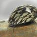 Theodoxus fluviatilis - Photo (c) Michal Maňas, algunos derechos reservados (CC BY)