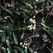 Lilaeopsis chinensis - Photo (c) Howard Horne, algunos derechos reservados (CC BY-NC)