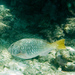 Yellowtail Parrotfish - Photo (c) Paul Asman and Jill Lenoble, some rights reserved (CC BY)
