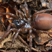 California Turret Spider - Photo (c) Marshal Hedin, some rights reserved (CC BY-NC-SA)