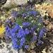 Eritrichium aretioides - Photo (c) Bruce Bennett, algunos derechos reservados (CC BY-NC)