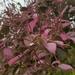 Paederia farinosa rosea - Photo (c) Franck Rakotonasolo, osa oikeuksista pidätetään (CC BY-NC)