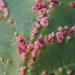 Aceria cephalanthi - Photo (c) Rob Curtis,  זכויות יוצרים חלקיות (CC BY-NC-SA)