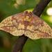 Eacles imperialis pini - Photo (c) David Kaposi, algunos derechos reservados (CC BY-NC)