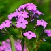 Phlox glaberrima - Photo (c) Mark Kluge, algunos derechos reservados (CC BY-NC-ND)