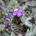 Kleinkaroo Spikeviolet - Photo (c) gerhardmalan, some rights reserved (CC BY-NC)