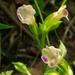 Torenia fordii - Photo (c) 柠萌~(~ ̄▽ ̄)~, algunos derechos reservados (CC BY-NC)