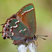 Hairstreaks - Photo (c) Samuel Brinker, some rights reserved (CC BY-NC)