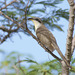 Mangrove Cuckoo - Photo (c) greglasley, some rights reserved (CC BY-NC), uploaded by Greg Lasley